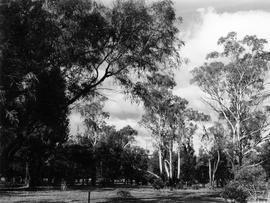 Stand of gum trees, Cadbury Factory