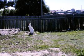 Albino wallaby in backyard
