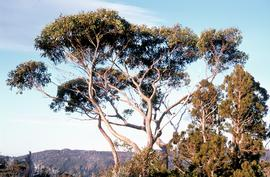 Eucalypt and pines near Twisted Tarn