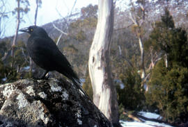 Black jay on a rock