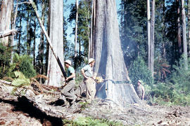 Timber workers tree felling in Florentine Valley