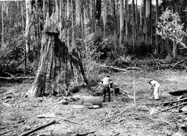 Black and white photograph of big tree stump