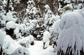Snow and ice on grove of Pandanus trees