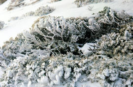 Snow on alpine vegetation