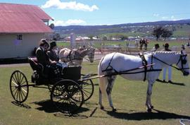 Carriage horses at Launceston Show 1972
