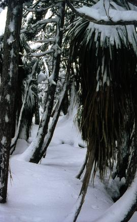 Snow and ice beneath rainforest trees