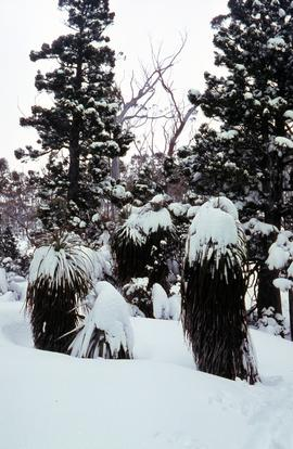 Snow and ice on Pandanus and native pine trees