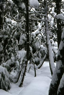 Snow and ice beneath grove of Pandanus trees