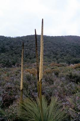 Spikes of flowering xanthorrhea australis
