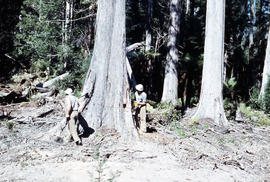 Tree felling in Florentine Valley