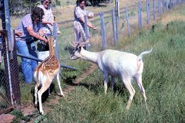 Deer being fed at Thorpe Farm, Bothwell