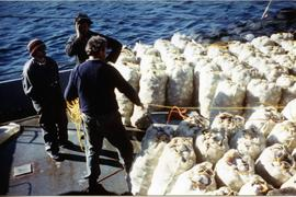 Bags of scallops on deck of fishing boat