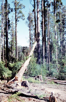 Tree falls in Florentine Valley