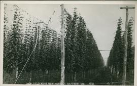 Postcard of hop fields near New Norfolk
