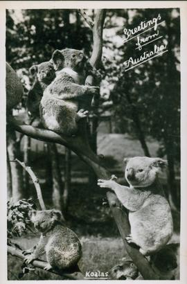 Postcard of Koalas