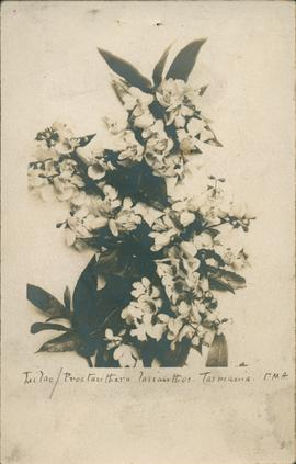 Postcard of Lilac