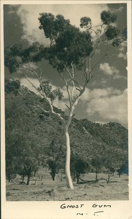Postcard of Ghost Gum