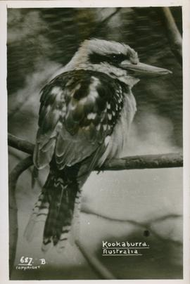 Postcard of of a Kookaburra