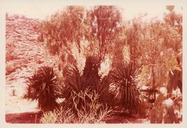 Photograph  of Yuccas at Miss Pink's garden